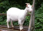 Main_thumb_goat_1